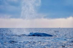 Blue whale tail. In the ocean, Sri Lanka stock images