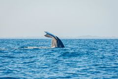 Blue whale tail. In the ocean, Sri Lanka royalty free stock photography