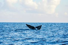 Blue whale tail. In the ocean, Sri Lanka royalty free stock photos