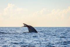 Blue whale tail. In the ocean, Sri Lanka stock photos