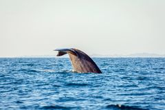 Blue whale tail stock photos