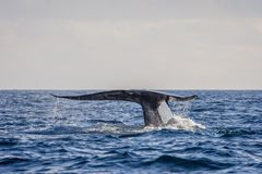 Blue whale tail. In the ocean, Sri Lanka stock photography