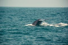 Blue whale tail diving deep, indian ocean. Wildlife nature background. Tourist impression. Adventure travel, tourism industry. Mir stock image