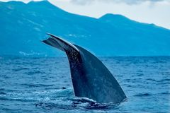 Blue whale tail flukes. A huge blue whale Balaenoptera musculus dives in search of krill near Pico Island in the Azores archipelago Royalty Free Stock Image