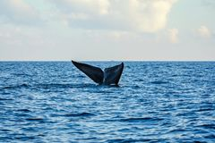 Blue whale tail royalty free stock images