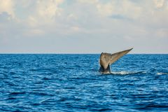 Blue whale tail royalty free stock photo