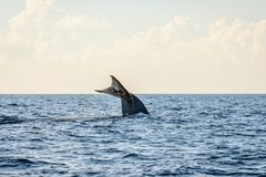Blue whale tail. In the ocean, Sri Lanka royalty free stock photo