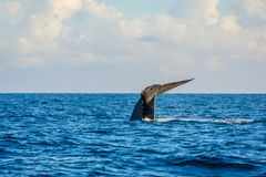 Blue whale tail royalty free stock photography