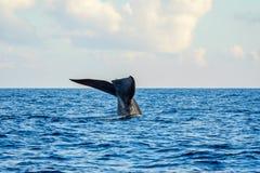 Blue whale tail. In the ocean, Sri Lanka stock photo
