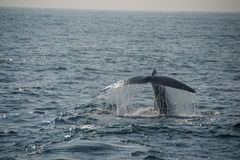 Blue Whale tail. Photo of Blue Whale tail fin near Mirissa, Sri Lanka Stock Photo