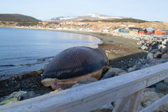 Blue Whale in Trout River. Blue whale washed ashore in Trout River royalty free stock images