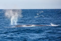 Big blue whale spouting water stock photography