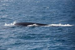 Blue whale in the open sea. Blue whale watching safari in Sri Lanka. Blue whale in the open sea stock photography
