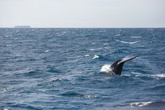 Tail of big blue whale. Blue whale watching safari in Sri Lanka. Blue whale in the open sea. Tail of big blue whale stock image