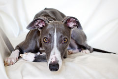 Blue whippet looking straight Stock Photography