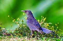 Blue whistling Thrush Stock Photography