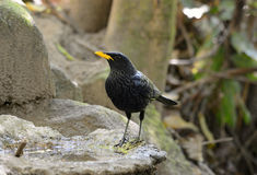 Blue whistling thrush Stock Images