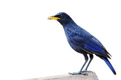 Blue Whistling Thrush Bird Royalty Free Stock Photos