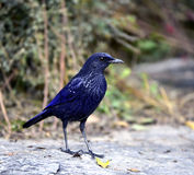 Blue Whistling-thrush Royalty Free Stock Photography
