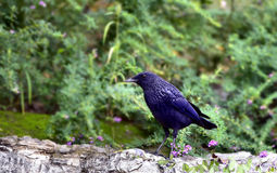 Blue Whistling-thrush Royalty Free Stock Photos