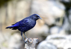 Blue Whistling-thrush Stock Image