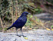 Blue Whistling-thrush Royalty Free Stock Image