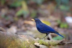 Blue Whistling-Thrush Royalty Free Stock Photos