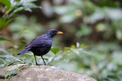 Fantastic beast and where to find them - Myophonus caeruleus. The blue whistling thrush is known for its loud human-like whistling song at dawn and dusk. It stock images