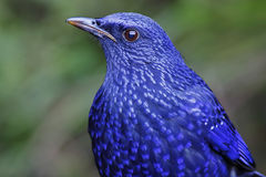 Blue Whistling Thrush Myophonus caeruleus Birds Close Up Royalty Free Stock Images
