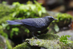 Blue Whistling Thrush Myophonus caeruleus Stock Images