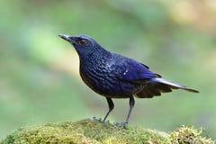 Blue Whistling Thrush (Myophonus caeruleus) in black lips formation perching on green mossy rock in nature