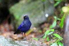 Blue Whistling Thrush Stock Photo