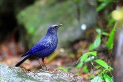 Blue Whistling Thrush Royalty Free Stock Photo