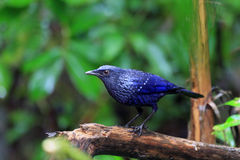 Blue Whistling Thrush Royalty Free Stock Photo