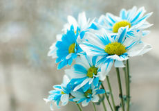 Blue and white aster flowers in a glass vase. Royalty Free Stock Image
