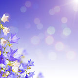 Blue and white bellflowers background_2 Stock Images