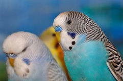 Blue white and black budgie Stock Photo