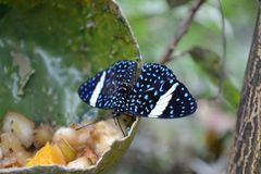 Butterfly nr.2. Blue, white and black butterfly at Wildlands, Emmen stock photo