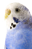 Blue and white budgie Stock Photography