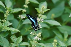 Blue-and-white butterflies fly and perch on flowers royalty free stock photography