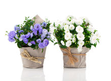Blue and white Campanula terry flowers Royalty Free Stock Image