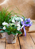 Blue and white Campanula terry flowers, and white Saintpaulias Stock Image