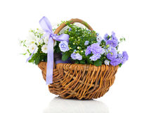 Blue and white Campanula terry flowers Stock Image
