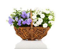 Blue and white Campanula terry flowers Stock Photo