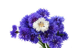 Blue and white cornflower bouquet. Blue cornflower bouquet with a white flower in the middle - Centaurea cyanus isolated on white background Stock Photo
