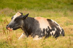 Blue and white cow resting in field Royalty Free Stock Photos
