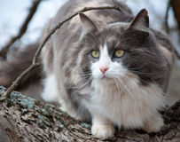 Blue, white and cream calico cat in a tree Royalty Free Stock Photo