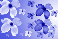 Blue and White Dogwood Flowers. Abstract of blue dogwood blossoms on white and white dogwood blossoms on blue stock illustration