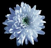 Blue-white flower chrysanthemum, garden flower, black  isolated background with clipping path.  Closeup. no shadows. green centre. Stock Photography