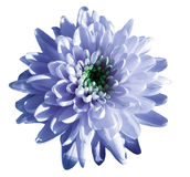 Blue-white flower chrysanthemum, garden flower, white  isolated background with clipping path.  Closeup. no shadows. green centre Royalty Free Stock Photography